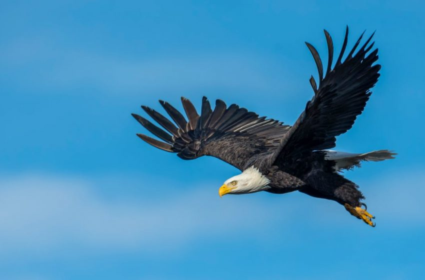 Eagle mentality the king of the sky